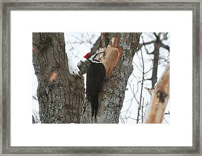 Pileated Woodpecker Framed Print by Carolyn Reinhart