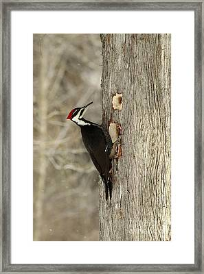 Pileated Woodpecker Excavating A Cedar Tree Framed Print by Inspired Nature Photography Fine Art Photography