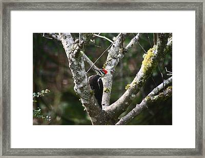 Pileated Woodpecker In Cherry Tree Framed Print by Kym Backland