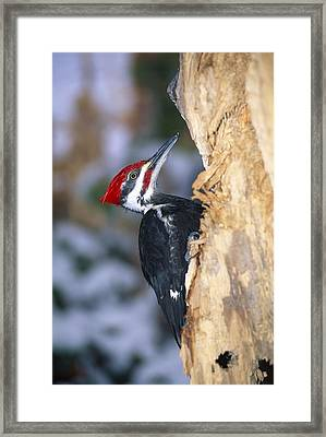Pileated Woodpecker Framed Print by Natural Selection William Banaszewski