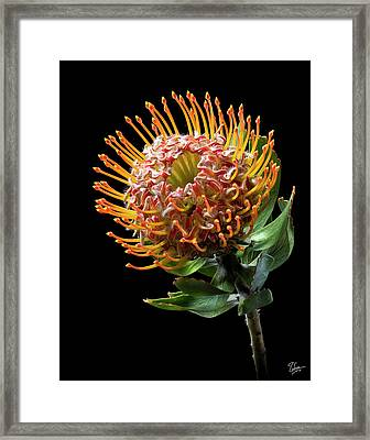 Pin Cushion Protea Framed Print by Endre Balogh