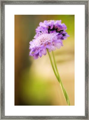 Pincushion Flowers (scabiosa Columbaria) Framed Print