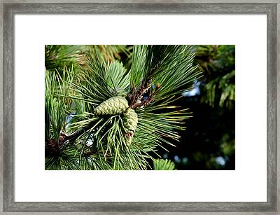 Pine Cones In A Pine Tree Framed Print by Bill Cannon