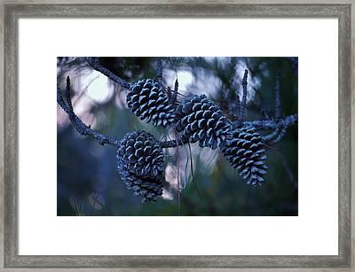 Pine Cones Framed Print by William Bartholomew