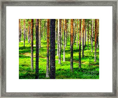 Pine Forest Framed Print by Pauli Hyvonen
