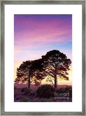 Pine Partnership At Sunset Framed Print by Richard Thomas
