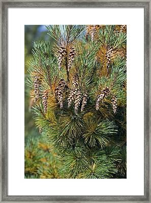 Pine (pinus Sp.) Framed Print by Dr Keith Wheeler