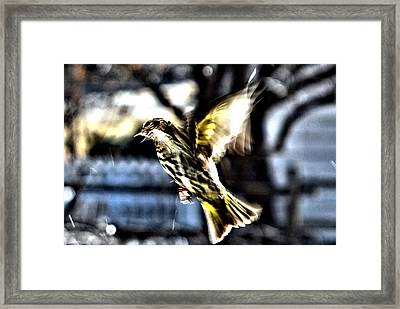 Pine Siskin In Flight Framed Print by Don Mann