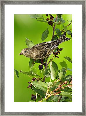 Pine Siskin On Berries Framed Print by Donald Kovalsky