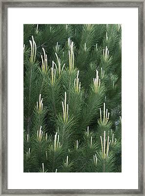 Pine Spring Growth Santa Cruz California Framed Print by Sebastian Kennerknecht