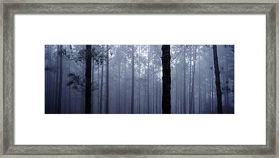 Pine Trees In Cloud In The Forest Corona Framed Print by Axiom Photographic