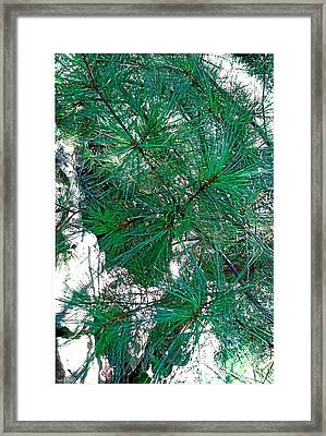 Pine With Rocks Framed Print by Suzanne Fenster