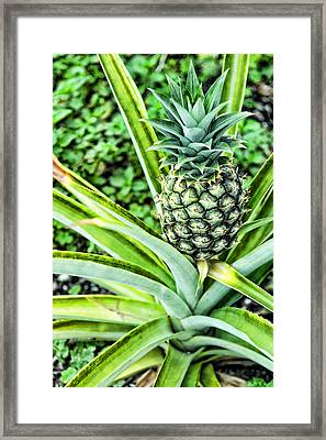 Pineapple Plant Framed Print by Frank Feliciano
