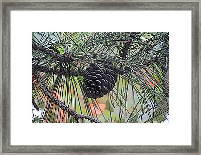 Pinecone Framed Print by Donna  Smith