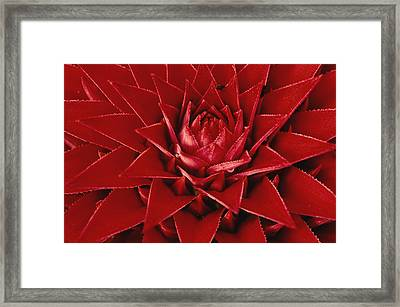 Pingwing Bromeliad Flower Panama Framed Print by Christian Ziegler