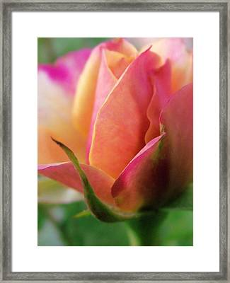 Pink And Orange Mini Rose Framed Print by Robin Cox