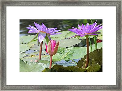 Pink And Purple Waterlilies Framed Print by Becky Lodes