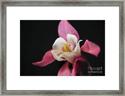 Pink And White Columbine Winky Rose Flower Framed Print by Nature Scapes Fine Art