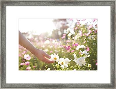 Pink And White Cosmos Flower Framed Print by Ajari