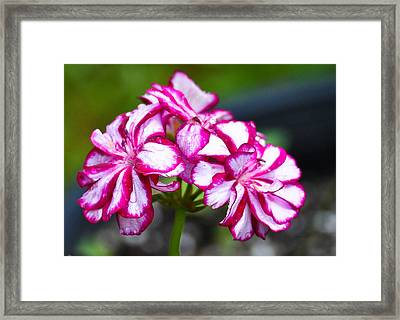 Framed Print featuring the photograph Pink And White Geraniums by Ronda Broatch