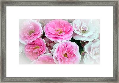 Pink And White Rose Melody Framed Print by Chantal PhotoPix