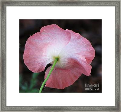 Framed Print featuring the photograph Pink And White Shirley Poppy by Michele Penner