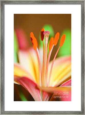 Pink And Yellow Lily 4 Framed Print by Melissa Haley
