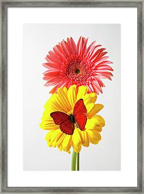 Pink And Yellow Mums Framed Print by Garry Gay