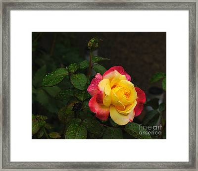 Pink And Yellow Rose 5 Framed Print