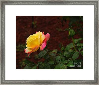 Pink And Yellow Rose 6 Framed Print