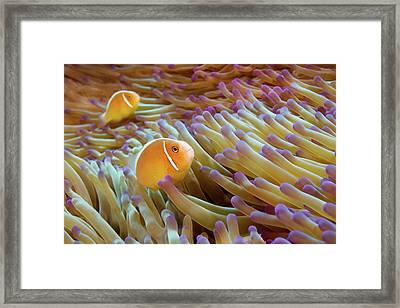 Pink Anemonefish Framed Print by James R.D. Scott