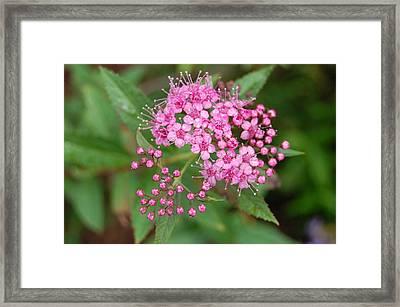Pink Framed Print by Beverly Hammond