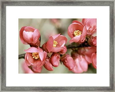 Pink Blossom Framed Print by Y. Deshayes - Photography