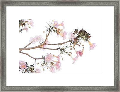 Pink Blossoms In Panama Framed Print