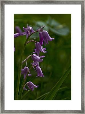 Pink Bluebell Framed Print by Rob Hemphill