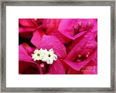 Pink Bouganvillea Framed Print by Sabrina L Ryan