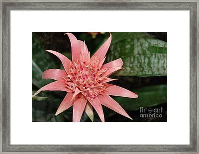 Pink Bromeliad Flower Framed Print by Eva Kaufman