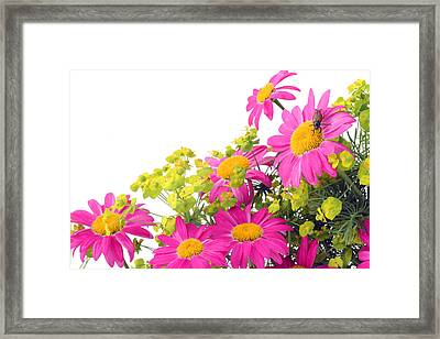 Framed Print featuring the photograph Pink Camomiles And Bug Card by Aleksandr Volkov