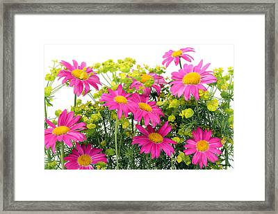 Framed Print featuring the photograph Pink Camomiles Background by Aleksandr Volkov