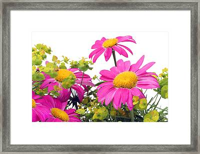 Framed Print featuring the photograph Pink Camomiles Macro by Aleksandr Volkov