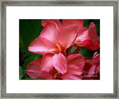 Pink Canna Framed Print