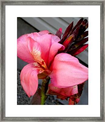 Pink Canna Framed Print by Renate Nadi Wesley