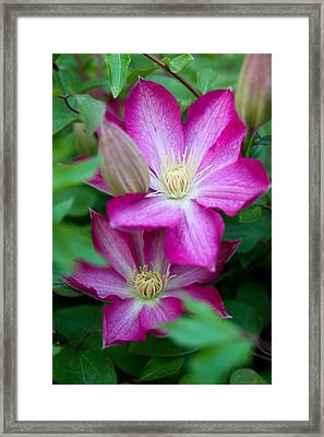 Pink Clematis Framed Print by Theresa Johnson