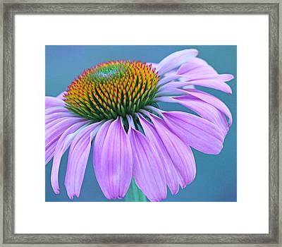 Pink Coneflower Framed Print by Becky Lodes