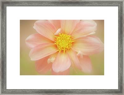 Pink Dahlia Flower Framed Print by Kathleen Clemons