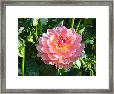 Pink Dahlia Flowers Art Prints Dahlias Floral Framed Print by Baslee Troutman
