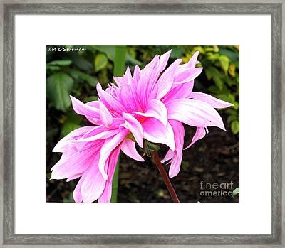 Pink Dahlia Framed Print by M C Sturman