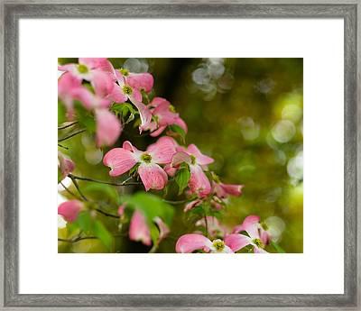 Pink Dogwood Blooms Framed Print