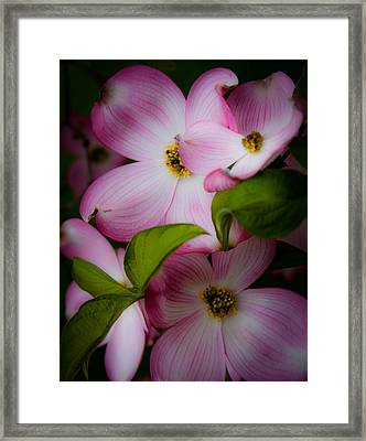 Pink Dogwood Blossoms Framed Print by David Patterson