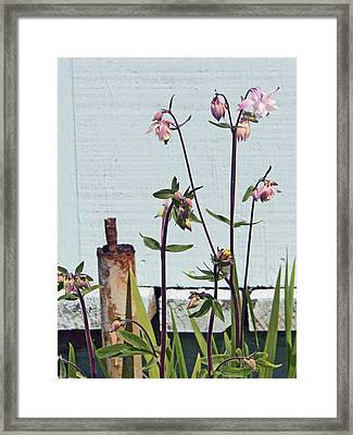 Pink Doves Framed Print by Pamela Patch
